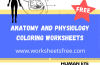 Anatomy Worksheets and Answers